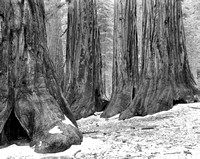 Bachelor and Three Graces, Mariposa Grove, Yosemite National Park, CA