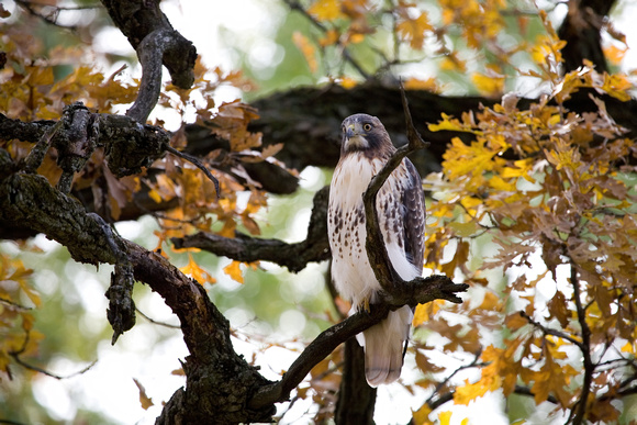 Red tailed hawk sits patiently atop a perch from an oak tree at the