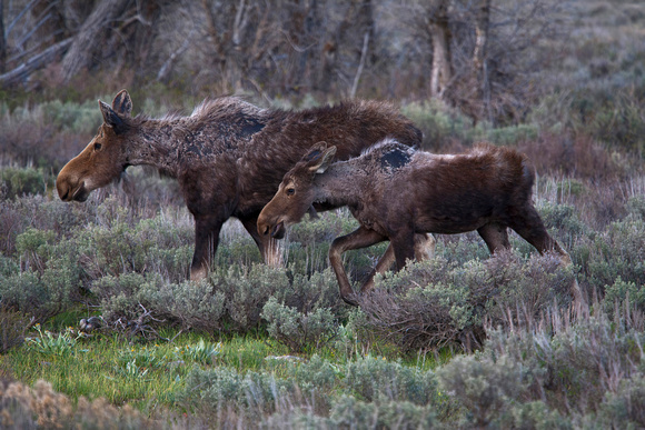 Toward evening a cow moose and her calf dine on sagebrush in grand